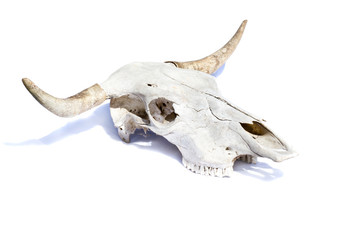 bull skull -  isolated
