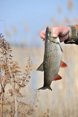 Fisherman Holding Chub Fish (Leuciscus Cephalus)