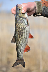 Fisherman Holding His Catch, European Chub Fish