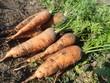 Свежая морковь на грядке