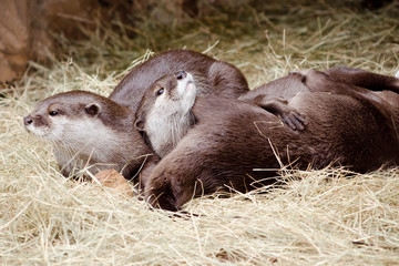 Asian small claw otters