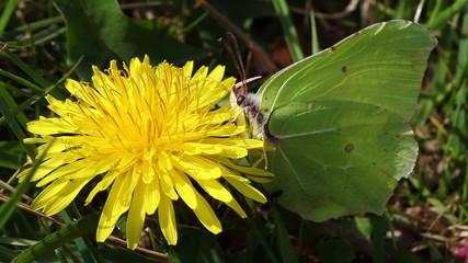 Zitronenfalter - Nektar sammeln - Ameisen