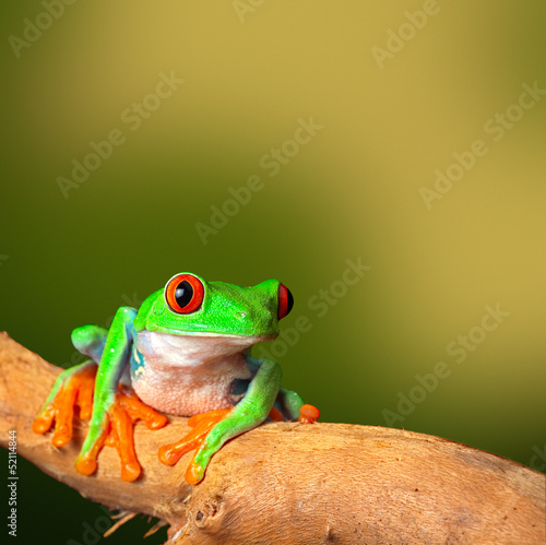 Fototapety, obrazy : tropical red eyed treefrog
