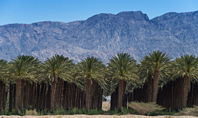 Plantation of date's palms