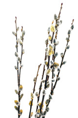 Branches of the pussy willow with flowering bud.Isolated.