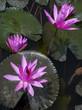 Flowers of Nimphaea in Lake Toba.