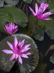 Flowers of Nimphaea in Lake Toba.