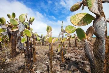Opuntia cactus foreat at Galapagos island