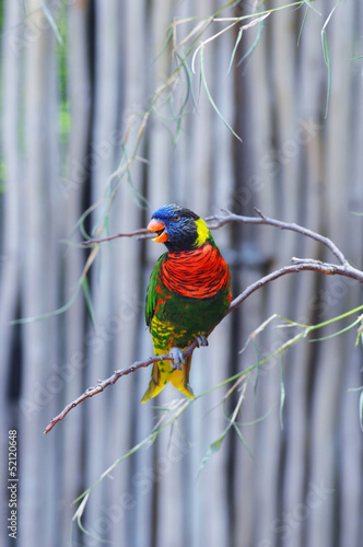 Lorikeet Singing