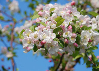 Closeup of a cluster of crab apple blossom