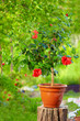potted hibiscus plant on colorful background, in garden