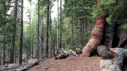 "A Tourist at """"Grizzly Giant"""" sequoia tree in Mariposa Grove"