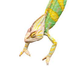 Chameleon upside down on a white background
