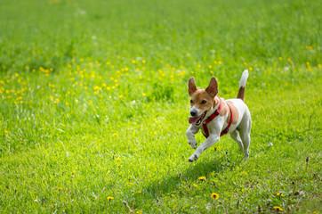 hund spielt auf grüner wiese
