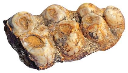 Mammoth teeth