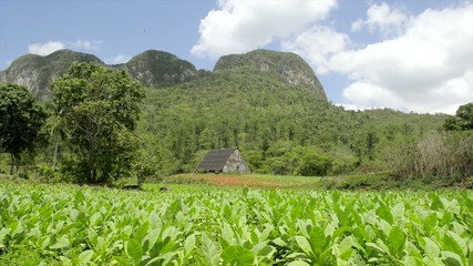 Nature, view of tobacco plantations and mountains in Cuba