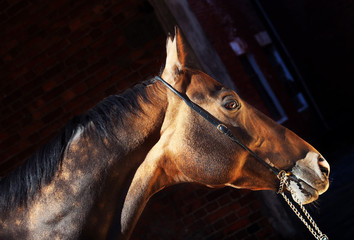 beautiful portrait of bay purebred akhal-teke stallion