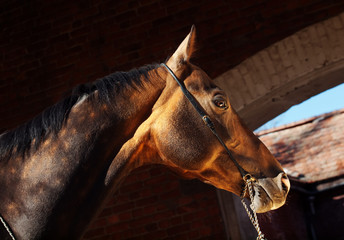 beautiful portrait of bay purebred akhal-teke stallion at the da