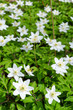 Vertical view of Swedish anemone flowers
