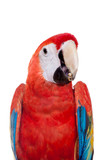 Scarlet macaws (Ara macao) eating on the white background