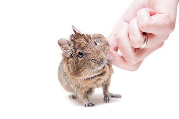 The Degu (Octodon degus) or Brush-Tailed Rat