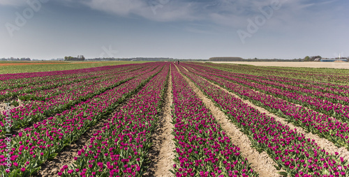Purple tulips field
