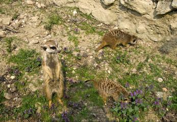 The groupe of meercate, Suricata suricatta, in ZOO, Bratislava