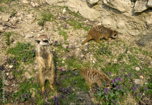 The groupe of meercate, Suricata suricatta, in ZOO, Bratislava