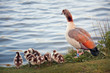 The Egyptian Goose family near pond