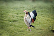 The Egyptian Goose dancing