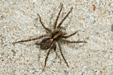 Close-up of a brown spider (Trochosa terricola)