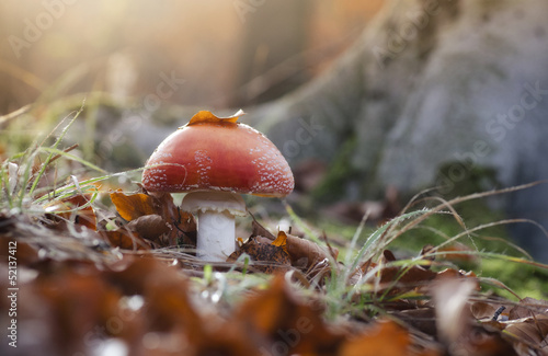 red mushroom in a forest at sunset ground level view