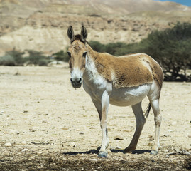 The onager (Equus hemionus) is a brown Asian wild ass