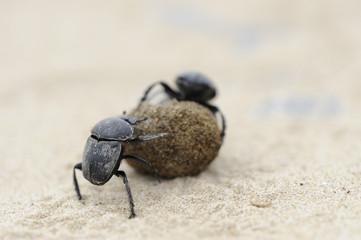 2 escarabajos peloteros