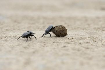 E escarabajos peloteros rivalizando