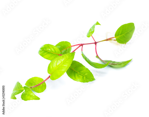 fuchsia seedling with visible root against a white background