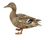 Female Mallard, standing in front of white background