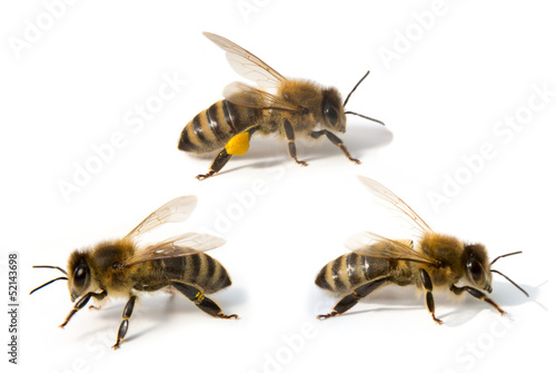 Foto op Canvas Bee Three bees in front of white background