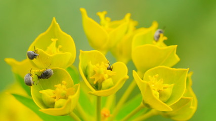 Insect pests eat wild flowers  (macro)