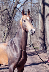 beautiful purebred ahalteke  stallion in spring forest.