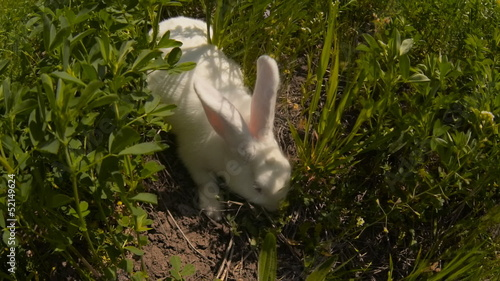 rabbit runs across the field and eating grass