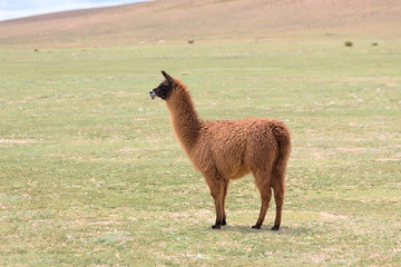Llama in the Bolivian altiplano