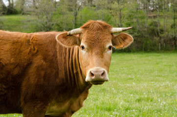 Vache, portrait