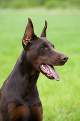 brown doberman