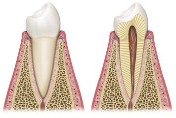 Ilustracion esquematica del diente