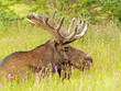 Moose in the Meadow
