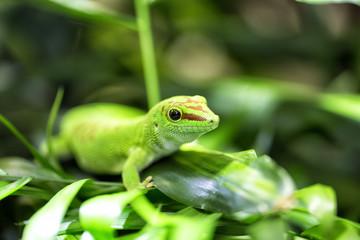 Taggecko in Nahaufnahme