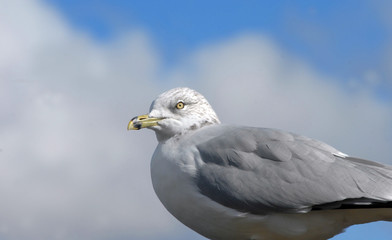 Closeup of Seagull