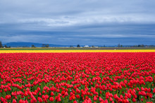 Red and yellow tulip field in the cloudy day