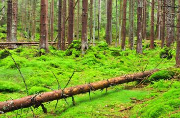 mountain wildwood in National park Sumava, Czech Republic
